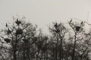 Aalscholvers in het Koornmolengat